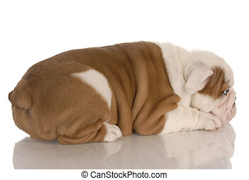 eight week old english bulldog puppy pouting with reflection...