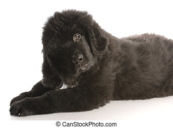 newfoundland puppy laying down - twelve weeks old