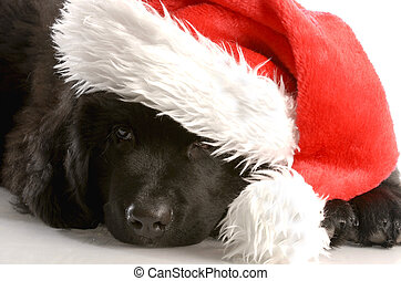 newfoundland puppy wearing santa hat - twelve weeks old