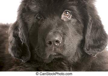 newfoundland puppy head shot - twelve weeks old