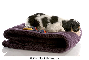 tri color cavalier king charles puppy on fuzzy blanket - six weeks old