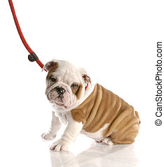 nine week old english bulldog puppy on a leash sitting