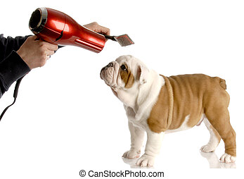 dog grooming - hands brushing nine week old english bulldog