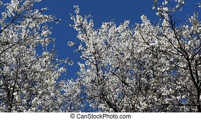 Blossoming of a cherry plum Spring in gardens of Kuban
