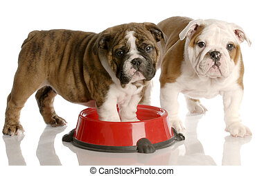 two nine week old english bulldogs puppies and a red dog food dish