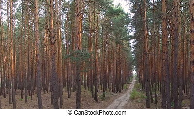 beautiful footpath in pine forest. aerial survey