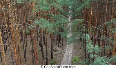 beautiful footpath in pine forest aerial survey