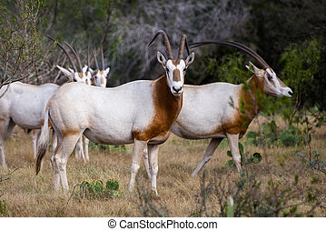 Scimitar Horned Oryx - South Texas Scimitar Horned Oryx in a...
