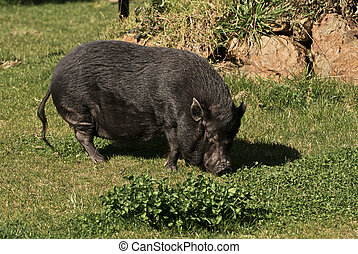 A Large Pot-Belly Pig lumbers across the farmyard - Barely...