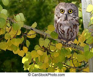Northern Saw-whet Owl - Aegolius acadiacus