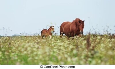 Mare with foal go on field hd