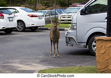 male wild deer accidentally got lost and went out to the...