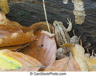 European common frog, Rana temporaria