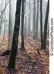 Autumnal misty morning in the forest - Autumnal morning in...
