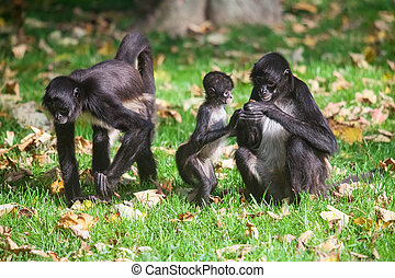 Geoffroy's Spider Monkey. Ateles geoffroyi - Family of...
