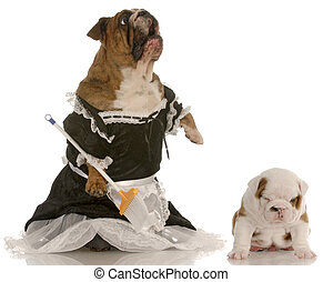 angry mother - english bulldog wearing maid dress standing...