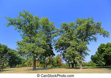 Green perennial deciduous tree in summer city park