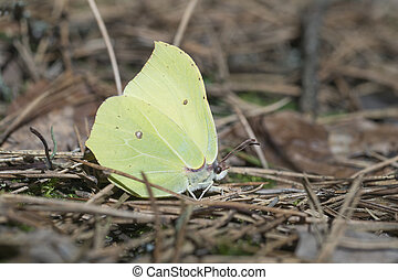 Common Brimstone - Gonepteryx rhamni