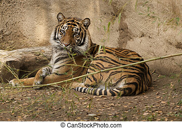 Reclining Tigress - This female Tigress is watching our...