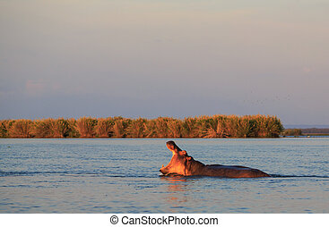Hippo with his mouth open in the water at sunset