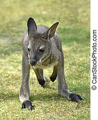 Red-necked Wallaby (Macropus rufogriseus) - Juvenile...