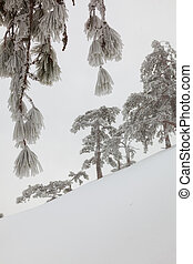 branch - snow-covered landscape in the coniferous forest in...