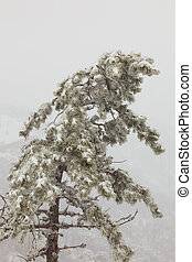 tree - snow-covered pine tree in a fog on a background of...