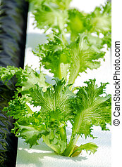 Lettuce on organic hydroponic vegetable garden, closeup