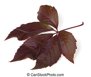Autumn virginia creeper leaf Parthenocissus quinquefolia...