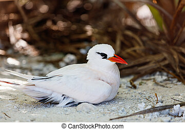 Red-tailed tropicbird nesting on Honeymoon island at...