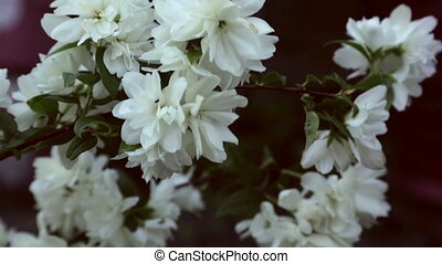Blooming jasmine - Close-up dolly shot of white blooming...
