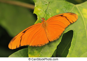 Julia Butterfly - Orange julia butterfly on a leaf.
