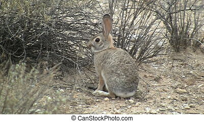 Desert Cottontail Rabbit Chewing On Plant - Desert...