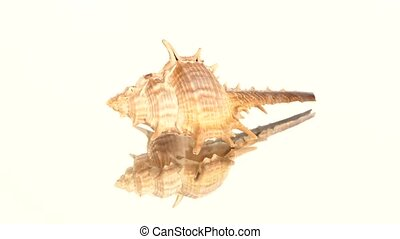 Prickly sea shell on white, rotation, reflection - Prickly...