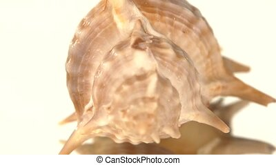 Prickly sea shell on white, rotation, reflection, close up -...