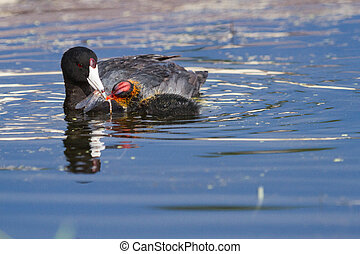 american coot - an american coot mama feeds her baby chick a...