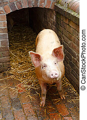 Pig outside pigpen - Pig in a traditional brick built pig...