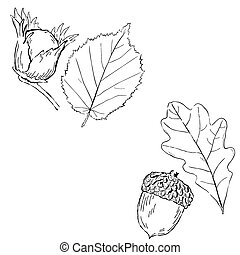 Fruits leaves of Hazel and oak - Fruits and leaves of Hazel...