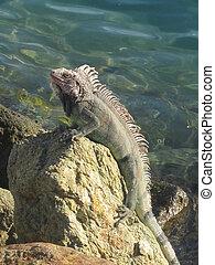 Iguana - An Iguana