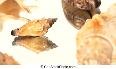 A lot of brown sea shells on white, rotation, reflection,...