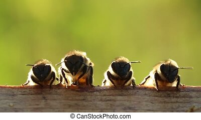 It is we, the young bees! - Young bees learn about the world...