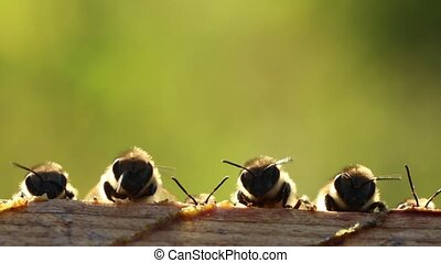 It is we, the young bees - Young bees learn about the world...