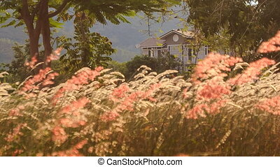 wind shakes blossoming grass against tropical villa at dawn...