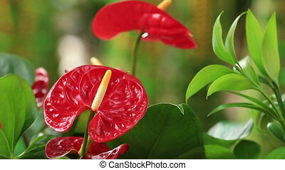 red anthurium flower in botanic garden anthurium andraeanum,...