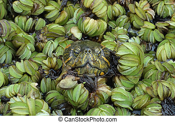 Turtle peering out of waterplants - Close up of turtle...