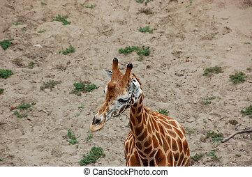Giraffe - Male and female of African giraffes in zoo...