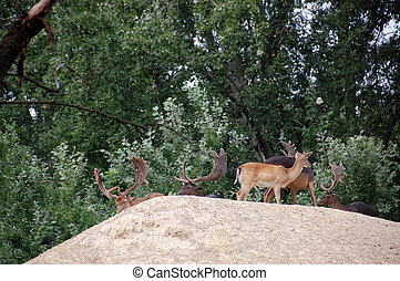 Deer - The Cervus Elaphus known as red deer in zoo...
