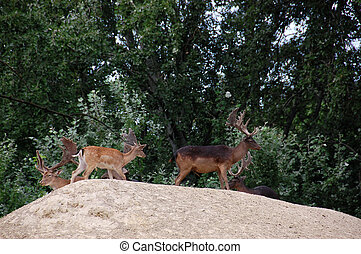 Deer - The Cervus Elaphus known as red deer in zoo...