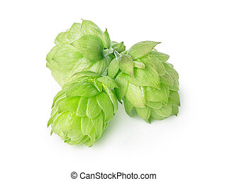 Hops humulus - Fresh hops flowers of Humulus lupulus without...