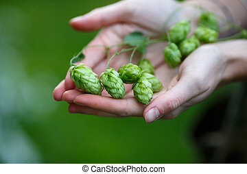 Hops humulus - Female hands holding a bunch of hops...